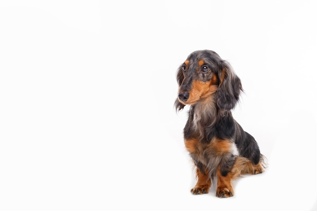 Собака такса, изолированные на белом фоне