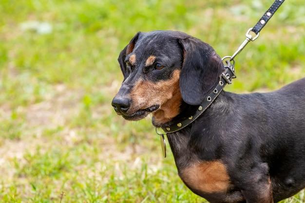 ひもにつないでいるダックスフント犬が散歩中に公園でクローズアップ