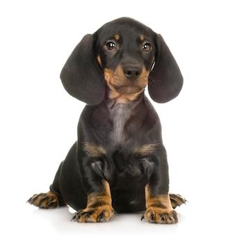 Dachshund dog portrait isolated
