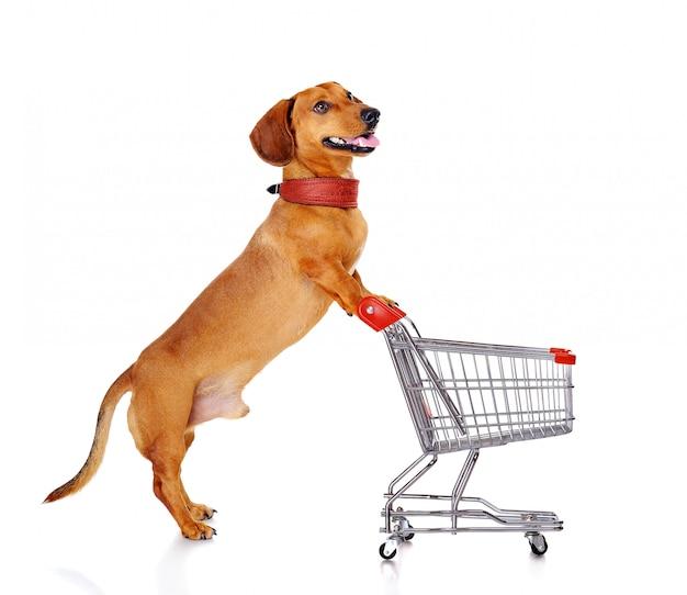 Dachshund dog pushing shopping cart