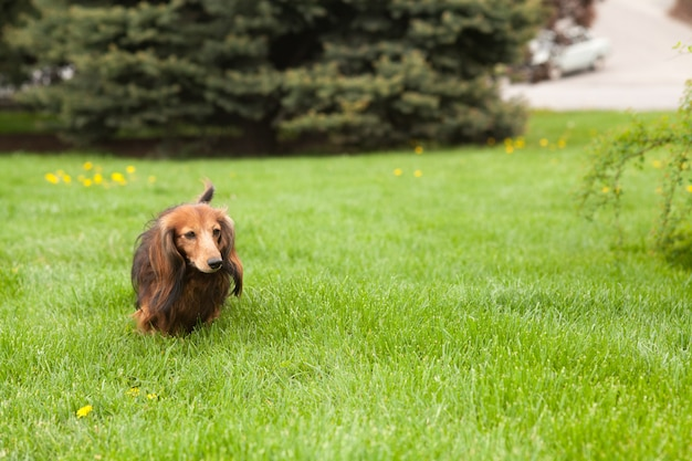 Dachshund dog running on the grass. happy pet in the nature. summer mood.
