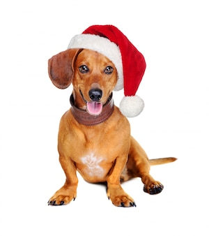 Dachshund dog with a santa hat isolated on white