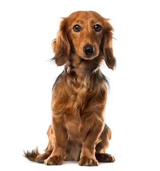 Dachshund in front of white wall