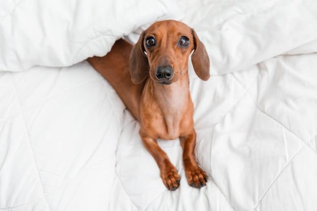 닥스 훈트가 침대에 누워 있습니다. 흰색면 담요, 텍스트를위한 공간