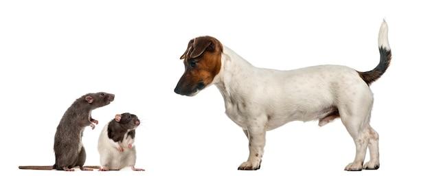 Такса, глядя на мышей, изолированные на белом