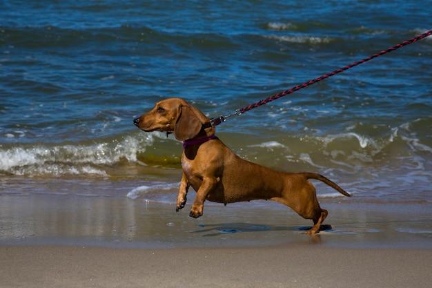 Такса на синем море. отдых с домашним животным в южных странах