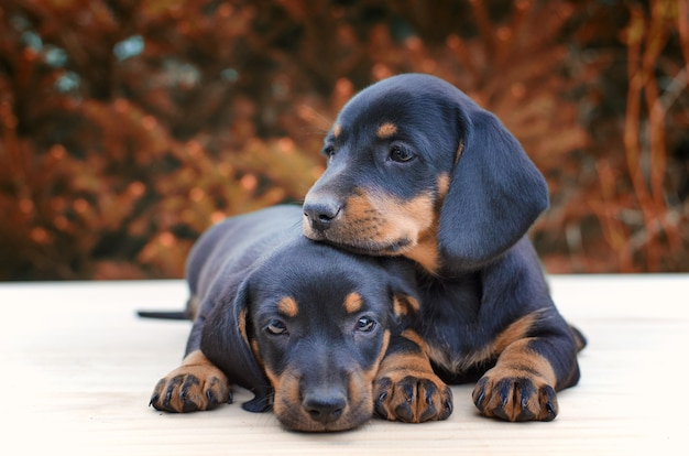 Dachshund puppies being together