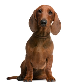 Dachshund puppy, 6 months old, sitting in front of white wall