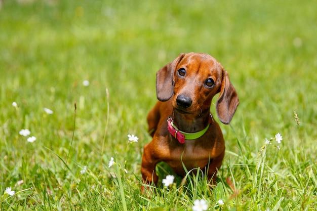 Dachshund puppy sitting in the grass
