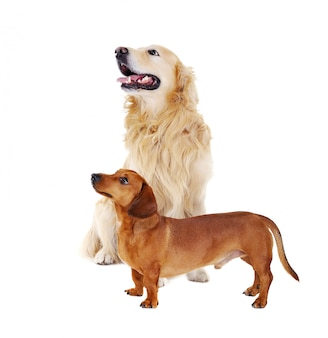 Dachshund with golden retriever looking to the side