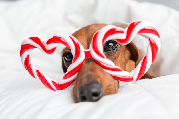 Dachshund with heart-shaped glasses lies on a bed with a white cotton blanket at home. valentine's day concept