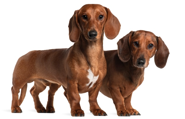 Dachshunds, 4 years old and 7 months old, standing