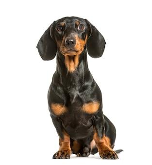 Dachshundsitting dachshund dog