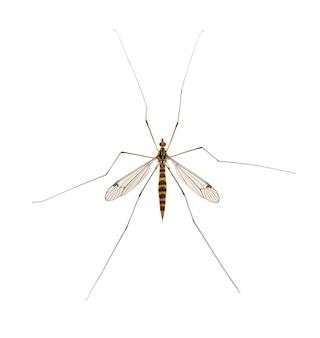 아빠 긴 다리 모기 nephrotoma scalaris