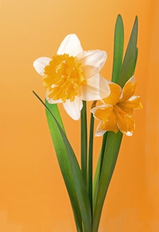 Daffodil bouquet isolated on a yellow background.