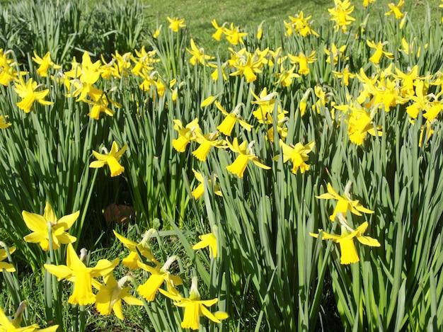 Нарцисс (нарцисс) желтый цветок
