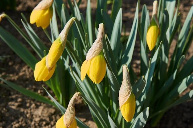 Крупный план желтых цветов нарцисса с зеленой травой.
