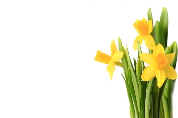 Нарциссы на белом фоне весенние цветы