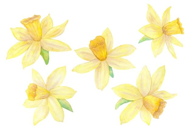 水仙または水仙。黄色い花。水彩手描きイラスト。白い壁に隔離。