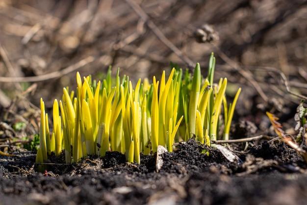 Весной нарциссы прорастают сквозь землю.