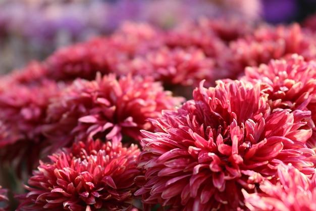 ダリア秋の花