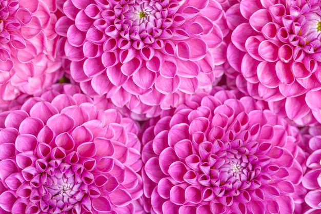 Dahlia ball-barbarry flowers background - top view on violet bright summer blooms