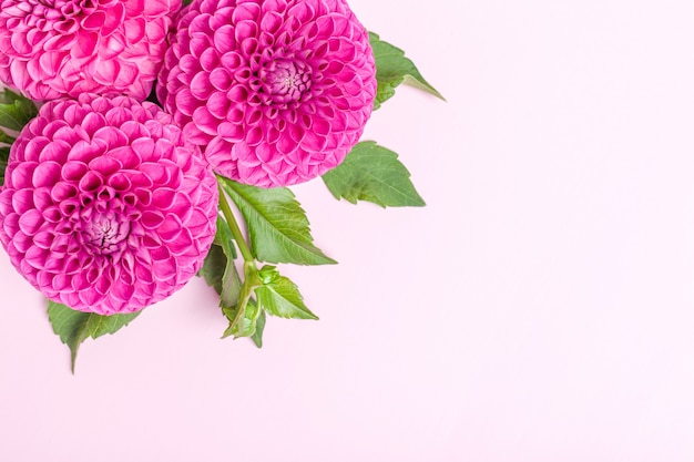 Dahlia ball-barbarry flowers with green leaves and buds