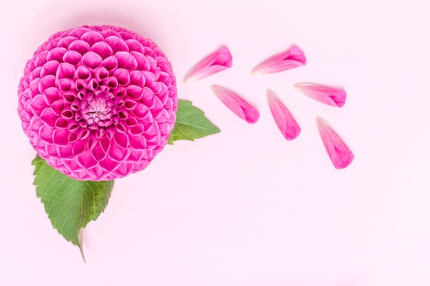 Dahlia ball-barbarry and petals with green leaves