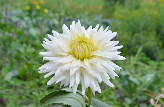 Dahlia-cactus flower