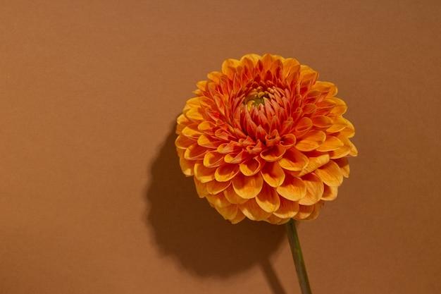ダリアは、新鮮な花の装飾的な屋外植物のオレンジ色のダリアの花の真っ赤な花のクローズアップ...