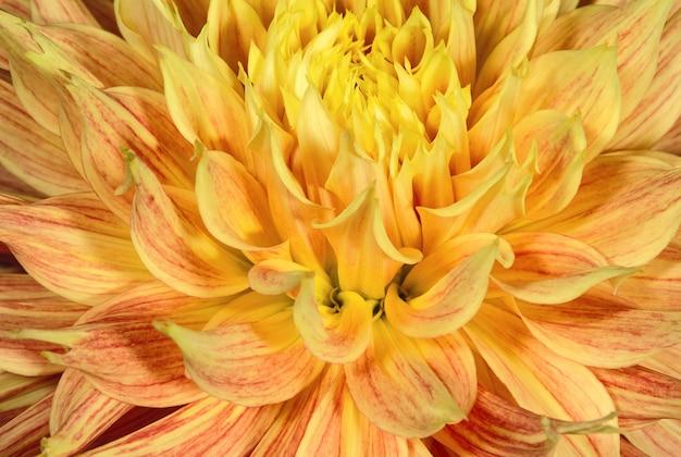 明るいオレンジ色のダリアの花のつぼみがクローズアップ