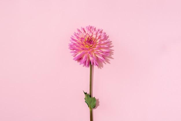 Dahlia flower on pink background