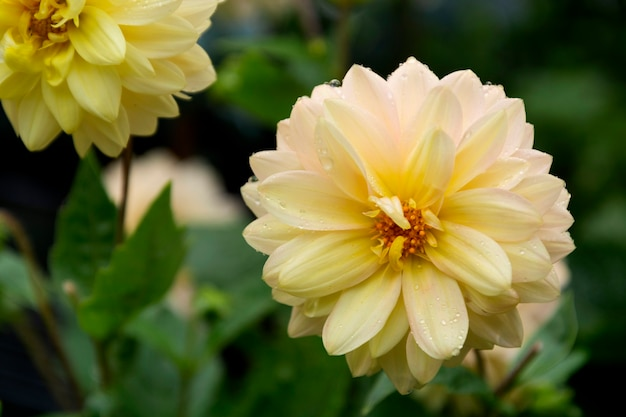 ダリアの花、夏に咲く庭、暗い写真