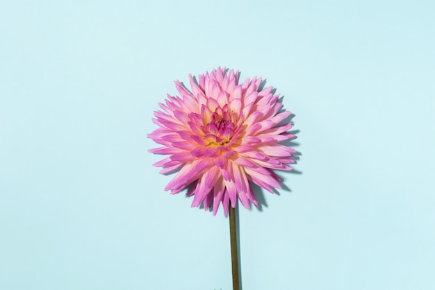 Dahlia flowers on blue background