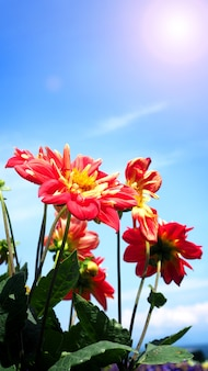 Dahlia flowers in close up or macro images which have a bright red color and light blue sky