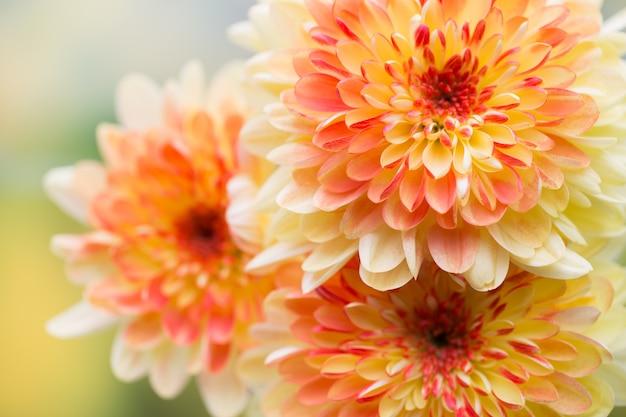 Цветы георгина крупным планом