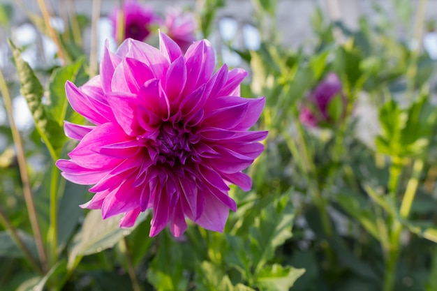 Dahlia flowers in a flowerbed on a background of green grass close-up with copy space