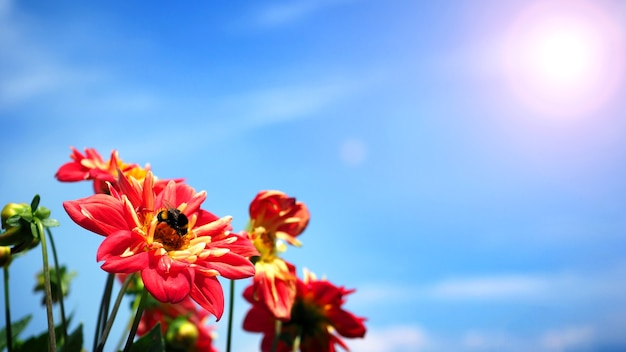 Цветы георгина крупным планом или макросъемки, которые имеют ярко-красный цвет и светло-голубое небо Premium Фотографии