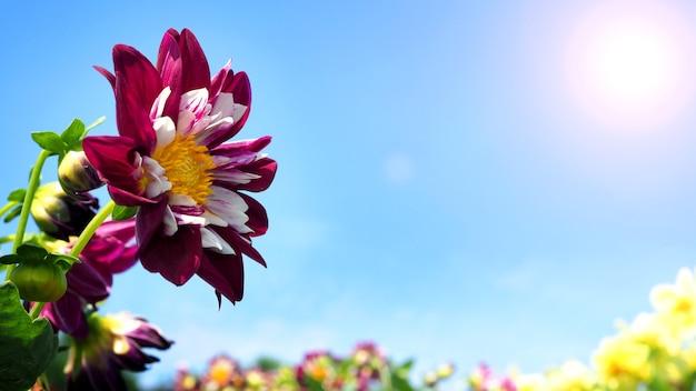 Цветы георгина крупным планом или макросъемки, которые имеют ярко-красный цвет и светло-голубое небо