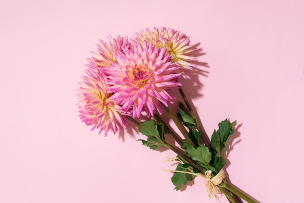 Dahlia flowers on pink background