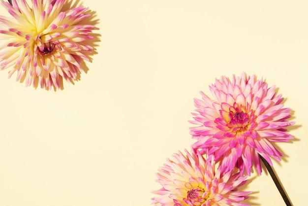 Dahlia flowers on yellow background
