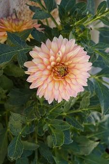花びらで休んでいるハエと満開のダリア