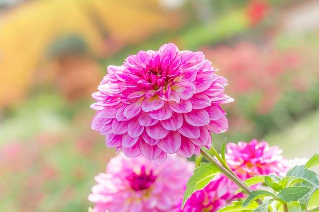 庭のダリアの花びら(pinnata cav。)