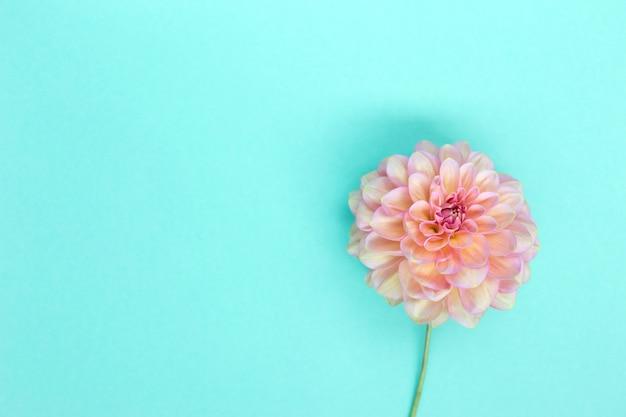 Dahlia pink flower on blue background copyspace