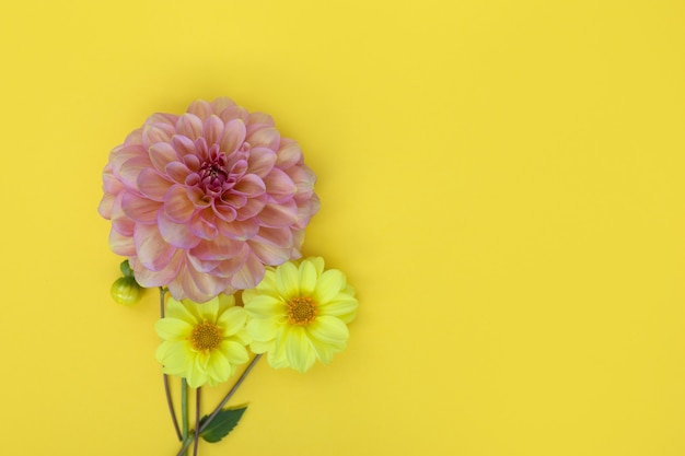 Dahlia pink and yellow flower on yellow paper background copyspace