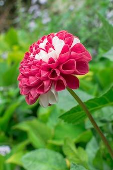 Цветок георгин пинната в красный и белый