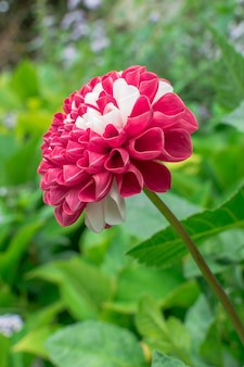 Dahlia pinnata flower in red and white