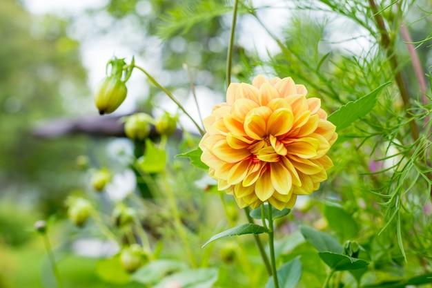 庭のダリア黄色とオレンジ色の花。ダリアの花壇。新鮮な結婚式の花、植物園。