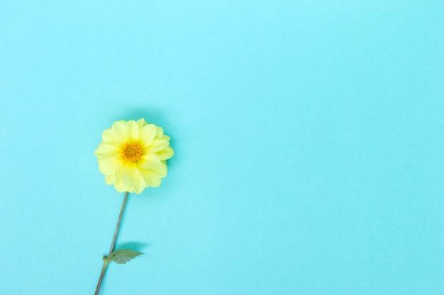 Dahlia yellow flower on blue background copyspace