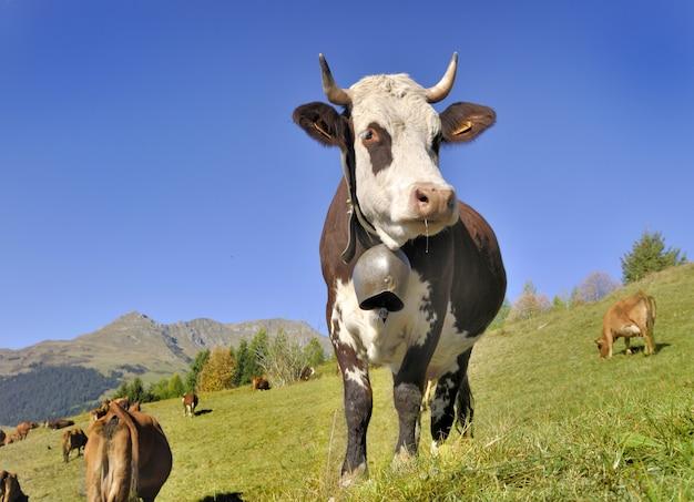 Dairy abundance cow in pasture